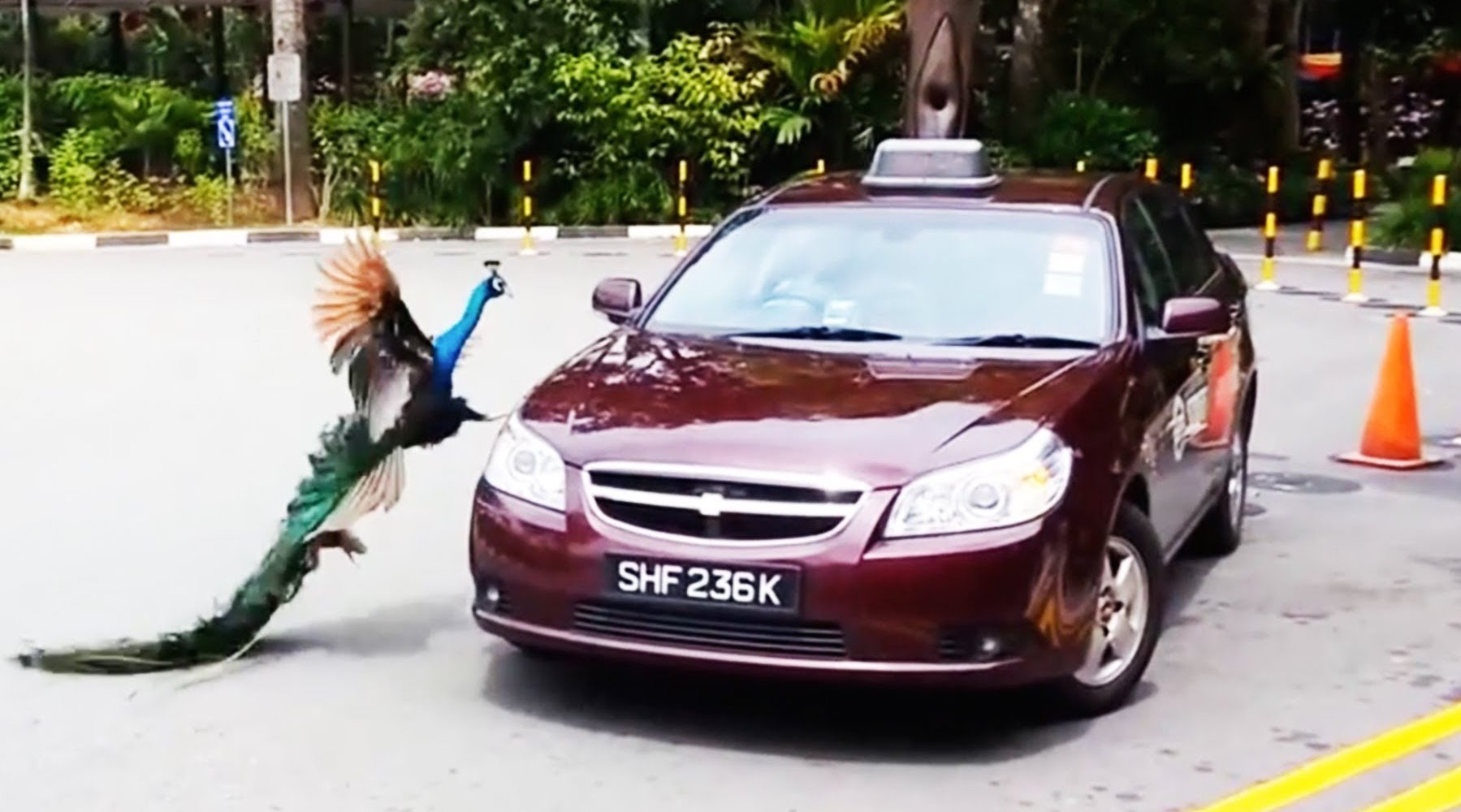 Call The Flying Squad! The Angry Birds Causing Havoc For Motorists Around The World