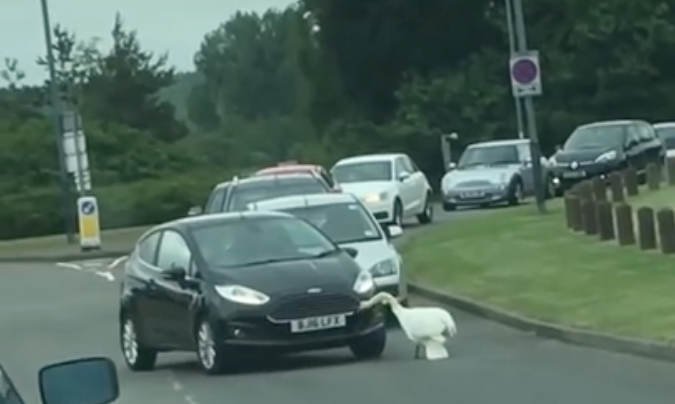Angry Swan Attacks Ford Fiesta, Angry Bird Wins