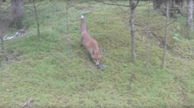 Lithuania, fox, keys