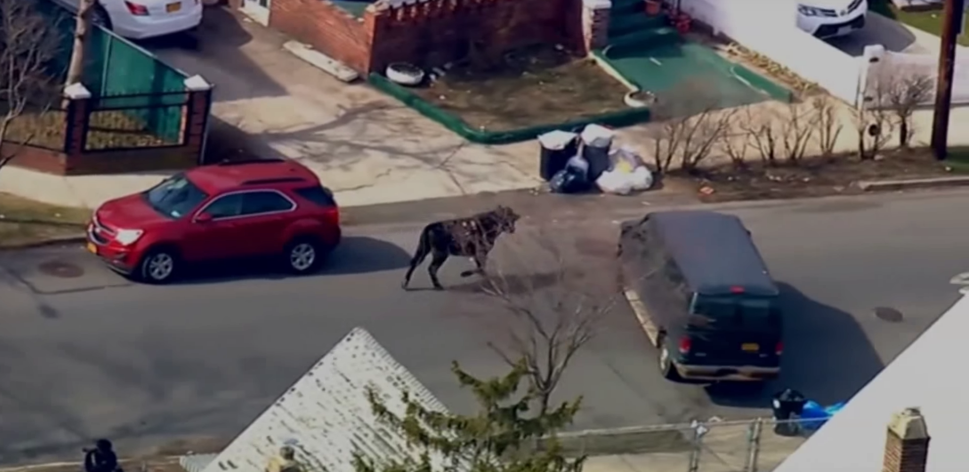 Bull Runs Riot Around New York After Escaping From Abattoir